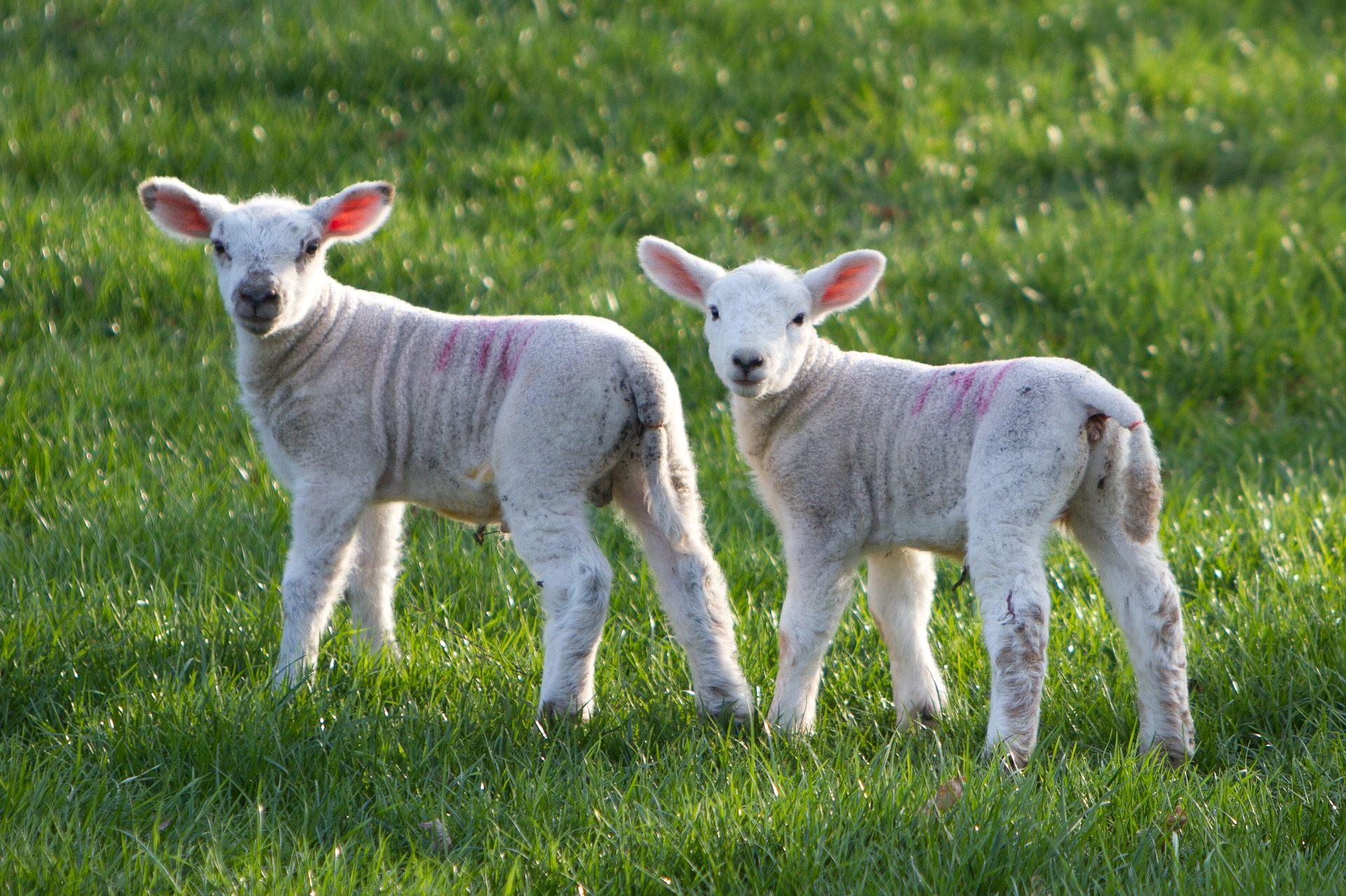 Alcuni cenni introduttivi sul latte in polvere per agnelli