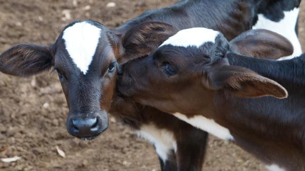 Come gestire una vitellaia