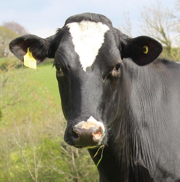 Integratori zootecnici per bovini