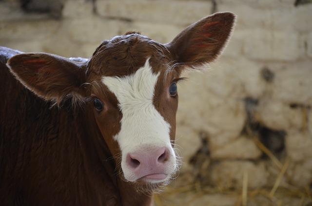 Il latte in polvere per vitelli: sfida per il futuro