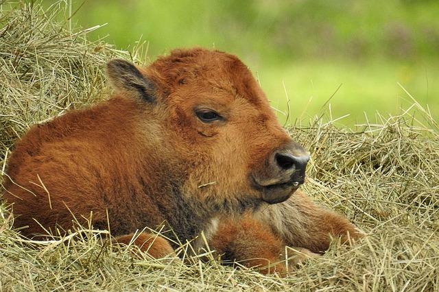 Senza latte in polvere per vitelli la rimonta � casuale