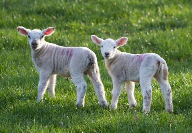 Latte in polvere per agnelli, la nostra buona soluzione