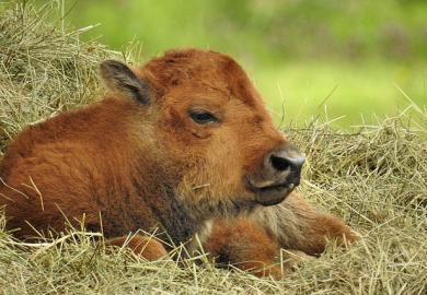 Senza latte in polvere per vitelli la rimonta è casuale